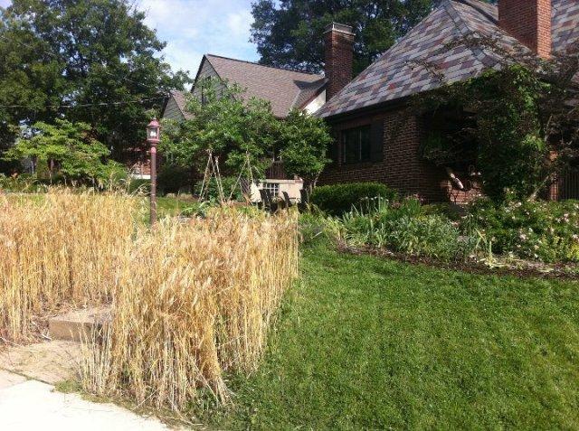 wheat garden